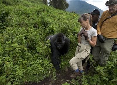 Rwanda: Turistii admira gorilele al caror numar este in crestere