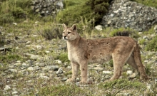 Jocul secret: Urmarirea unor lei de munte in Patagonia 4