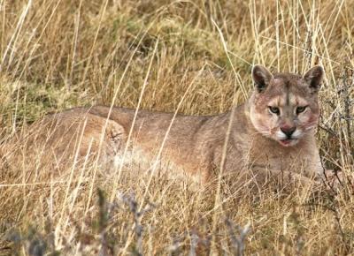 Jocul secret: Urmarirea unor lei de munte in Patagonia