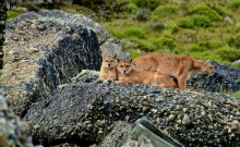 Jocul secret: Urmarirea unor lei de munte in Patagonia 6