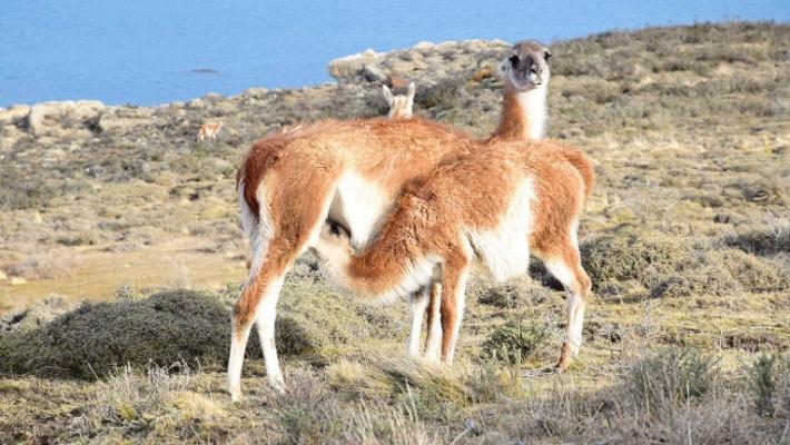 Jocul secret: Urmarirea unor lei de munte in Patagonia 8