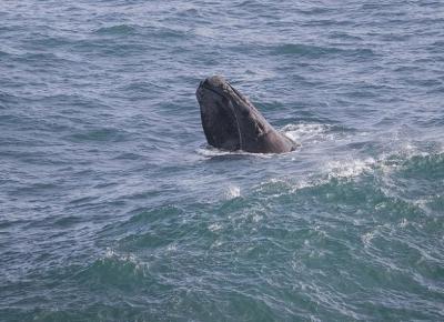 Pe urma balenelor in sudul Africii