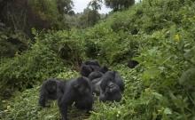 Rwanda: Turistii admira gorilele al caror numar este in crestere 2