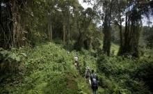Rwanda: Turistii admira gorilele al caror numar este in crestere 3