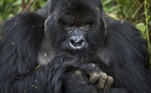 Rwanda: Turistii admira gorilele al caror numar este in crestere 4