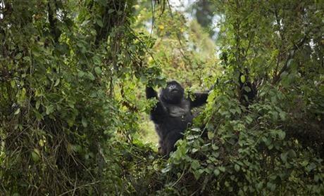 Rwanda: Turistii admira gorilele al caror numar este in crestere 5