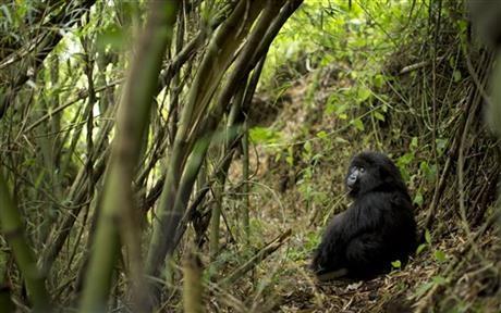 Rwanda: Turistii admira gorilele al caror numar este in crestere 6