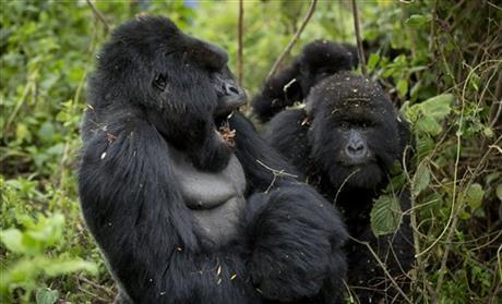 Rwanda: Turistii admira gorilele al caror numar este in crestere 7