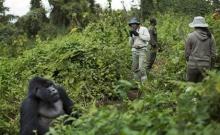 Rwanda: Turistii admira gorilele al caror numar este in crestere 8